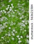 chervil  anthriscus cerefolium  | Shutterstock . vector #563621584
