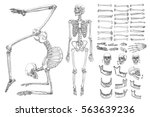 human anatomy drawing... | Shutterstock .eps vector #563639236
