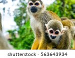 Two Squirrel Monkeys In The...