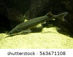 Small photo of Sterlet (Acipenser ruthenus).