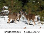 Mule Deer Fawn And Doe Touch...