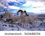 Dall sheep rams in snow, (Ovis dalli), Alaska, Denali National Park