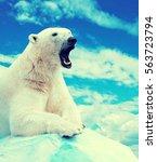 Polar Bear In Wildness Area...