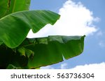 green banana leaf background... | Shutterstock . vector #563736304