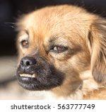dog portrait in nature | Shutterstock . vector #563777749