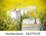 Canola crops grow beneath a hot sun, with bee hives to help - stock photo