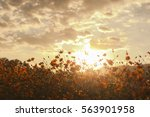 cosmos flowers field with... | Shutterstock . vector #563901958