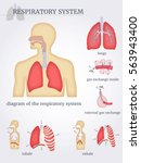 respiratory system  diagram of... | Shutterstock .eps vector #563943400