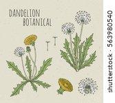 dandelion medical botanical... | Shutterstock .eps vector #563980540
