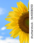 Isolated Sunflower During Shin...