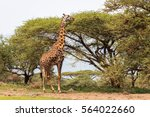 Adult Giraffe Eating Leaves An...