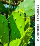 Small photo of Cactus (Angiosperms Eudicots Caryophyllales Cactaceae) plant hdr