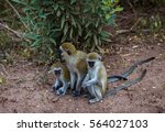 Family Of Vervet Monkeys With...