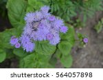 Small photo of Ageratum houstonianum. Ageratum Mexican. Ageratum houstonianum. Garden plants. Close-up. Horizontal photo