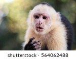 Wild White Headed Capuchin...