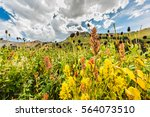 Small photo of Closeup of wildflowers in alpine meadows at Albion Basin near Salt Lake City, Utah