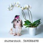 Shih Tzu Dog In Pink Hat...