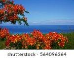 Flamboyant Tree In Full Bloom...