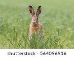 Stock photo european brown hare lepus europaeus 564096916