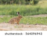 Stock photo european brown hare lepus europaeus 564096943