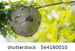 Large Nest Of Wasps Hangs...