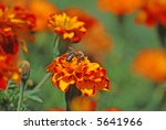 french marigold | Shutterstock . vector #5641966