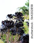 Close Up Of A Cluster Of Black...