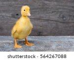 Cute Little Newborn Duckling O...