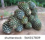 piled up agave fruit at tequila ... | Shutterstock . vector #564317839