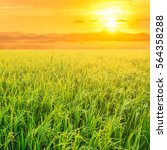 rice field in sunrise time for...   Shutterstock . vector #564358288