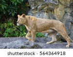Image Of A Female Lion On...