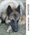 sleeping belgian shepherd... | Shutterstock . vector #56439538