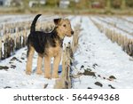Small photo of puppy airedale standing in the snow