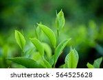 tea leave in tea plantation | Shutterstock . vector #564525628