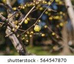 macro of the flower of... | Shutterstock . vector #564547870