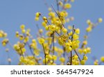 Small photo of Macro of the flower of Chimonanthus, wintersweet, genus of flowering plants in the family Calycanthacea