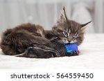 Stock photo little fluffy kitten maine coon plays 564559450