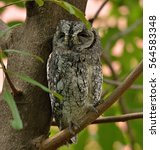 Small photo of African Scops Owl