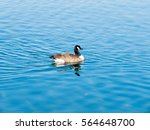 Duck Swimming In The Lake...