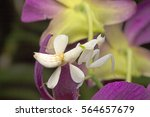 Orchid Mantis Mimicking Orchid...