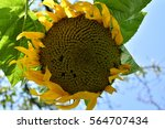 sunflowers | Shutterstock . vector #564707434