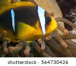 red sea clownfish | Shutterstock . vector #564730426