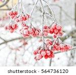 winter frozen viburnum under... | Shutterstock . vector #564736120