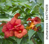 Bird And Red Flower  Campsis...