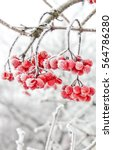 winter frozen viburnum under... | Shutterstock . vector #564786280