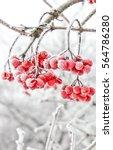 winter frozen viburnum under... | Shutterstock . vector #564786280