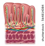 stomach wall layers detailed...   Shutterstock .eps vector #564814084