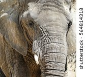 Small photo of Portrait of an African elephant