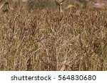 Small photo of African finger millet (Eleusine coracana)
