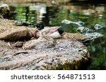 bangkok safari world  zoo duck | Shutterstock . vector #564871513